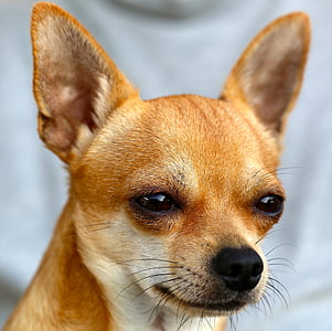 closeup photo of adult chihuahua