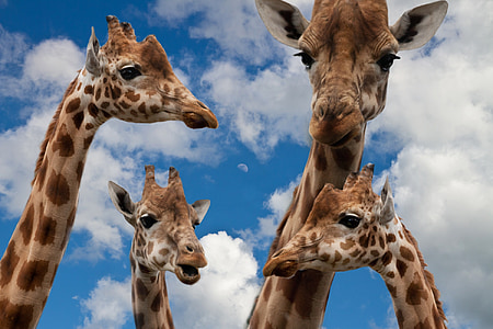 four giraffe animals heads