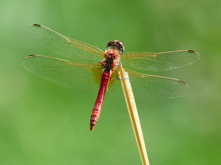 red and brown dragonfly