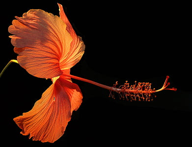 photo of orange hibiscus