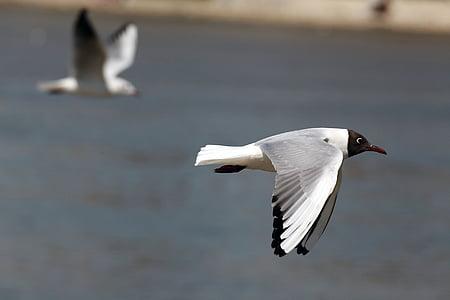 black headed white bird flying