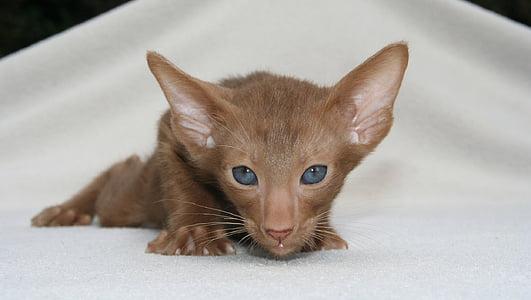 short-coated brown kitten photo