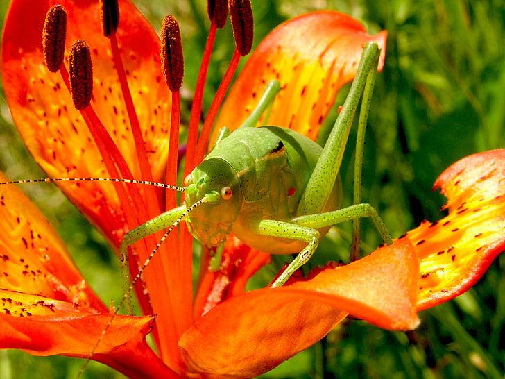 close up photo of green cricket on orange petaled flower
