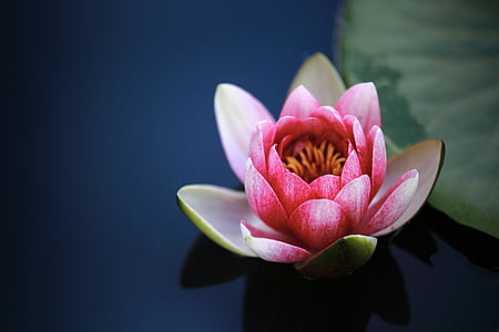 pink water lily flower selective focus photography