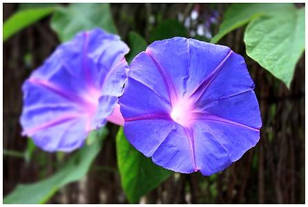 two purple morning glory