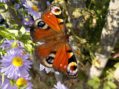 peacock butterfly perched on purple petaled flower