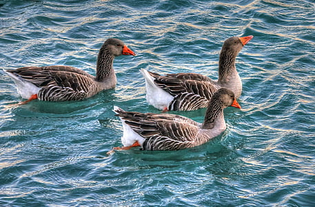 three gray ducks on water