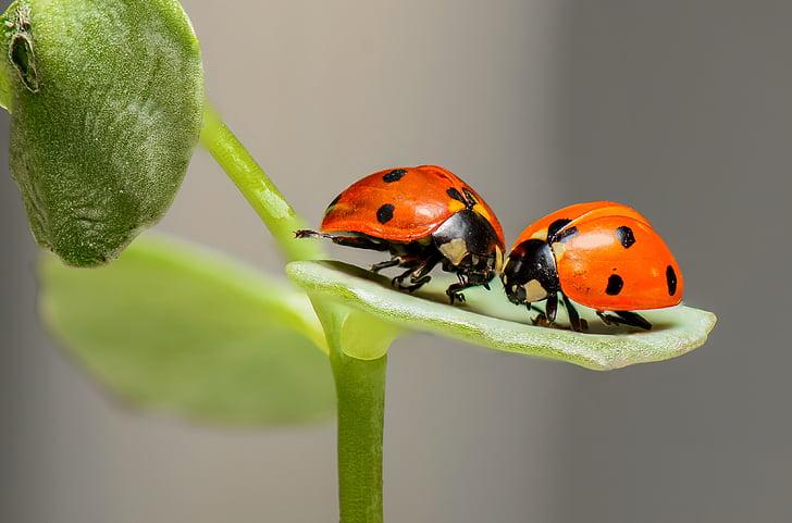 closeup photo of two orange-and-black ladybugs