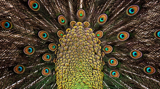 brown and yellow peacock graphic wallpaper