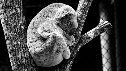 koala bear climb and sleeping on the tree brunch