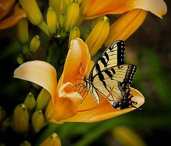 tiger swallowtail butterfly on orange petaled flower