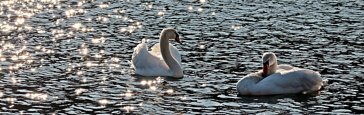 two white swans on the body of water during daytime