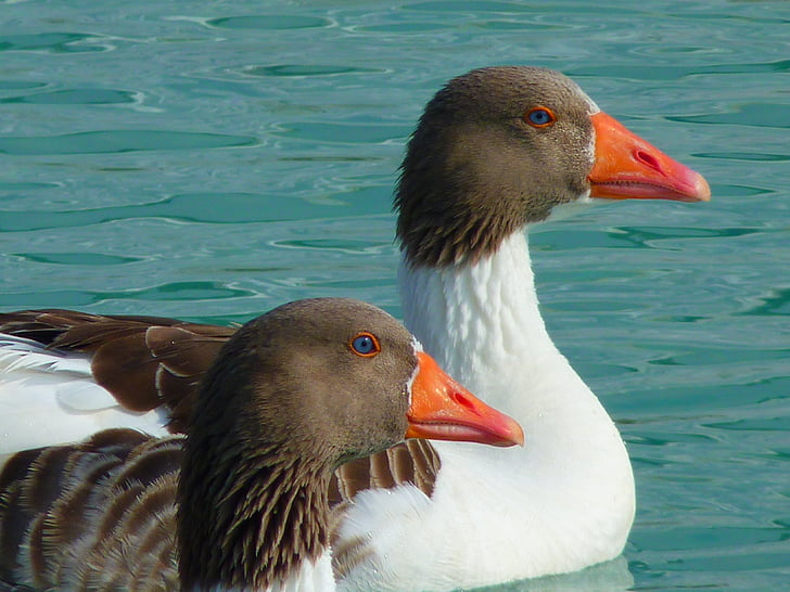 two grey and white ducks on body of water at daytime
