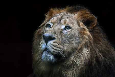 close-up photography of lion