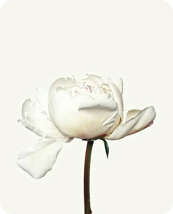 Royalty free photo white peony closeup photography pickpik white peony closeup photography mightylinksfo