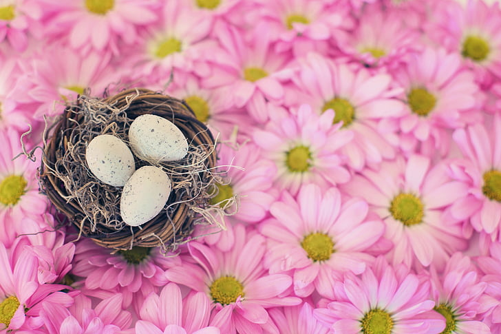 three eggs on nest on pink daisy flowers