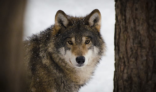 brown and white wolf beside brown tree