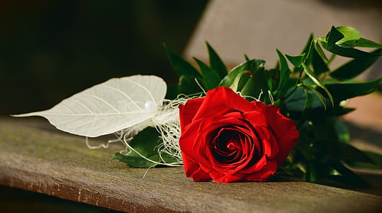 red rose closeup photography