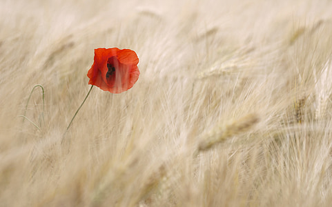 common poppy flower surrounded by wheat