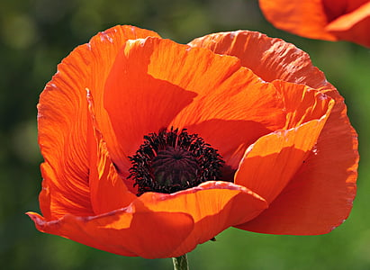 blooming orange poppy flower in close-up photography during daytime