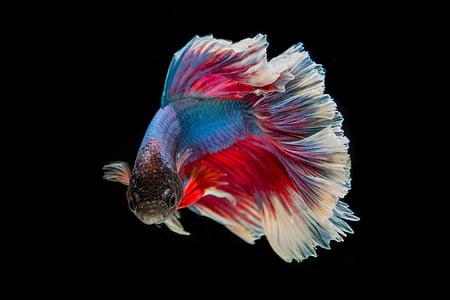 red and blue guppy fish photo