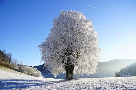 white Cherry Blossom under clear blue sky