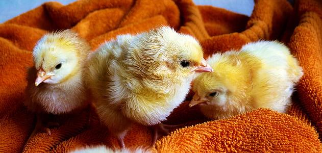 three yellow chicks on brown towel