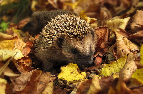close up photo of hedgehog surrounded by leaves