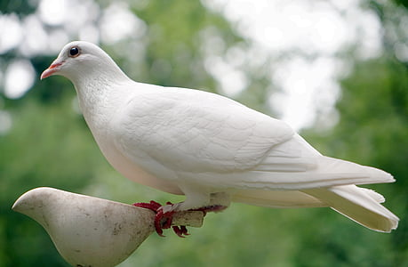 photo of white dove
