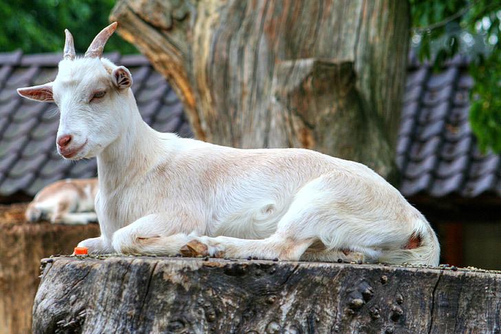 goat on tree trunk