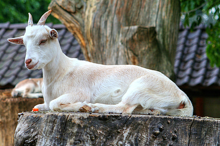 goat on tree trunk