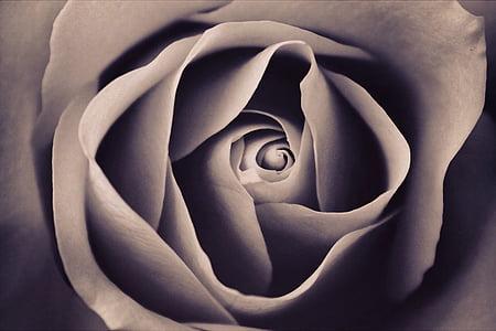 grey rose macro painting