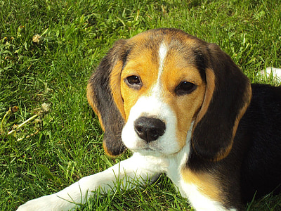 tricolor beagle puppy on grass field