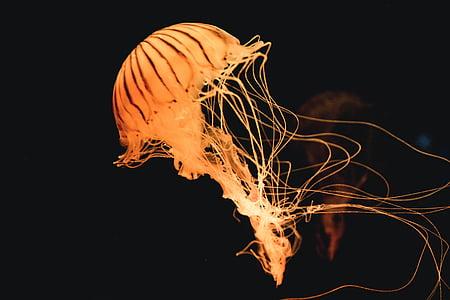 orange jellyfish underwater