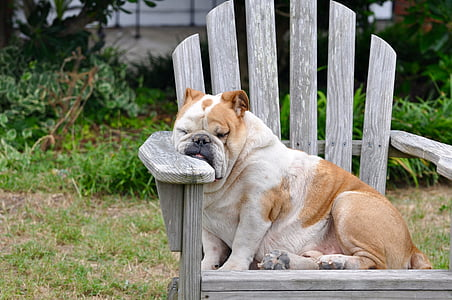 sleeping short-coated white and brown dog on brown wooden Adirondack chair