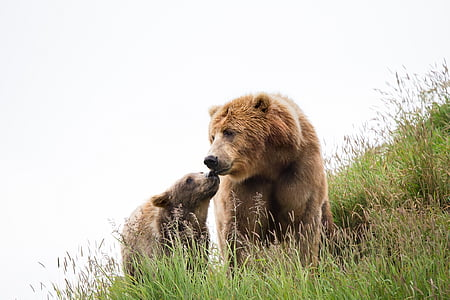 two brown bears on green field