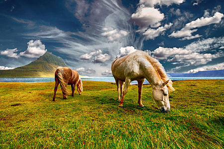 two horses eating grass
