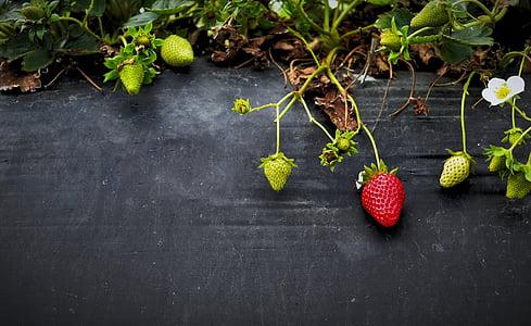 several strawberries in vines