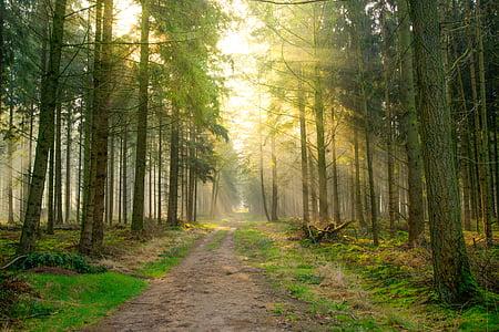 pine trees under sunrise