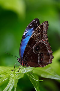 close-up photograph of Morpho butterfly