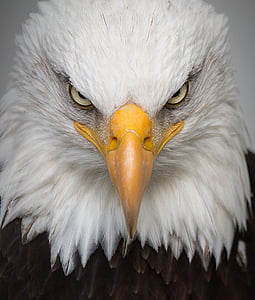 close-up photography of white and brown eagle head