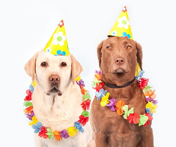 one yellow and one chocolate adult Labrador retrievers wearing birthday hats