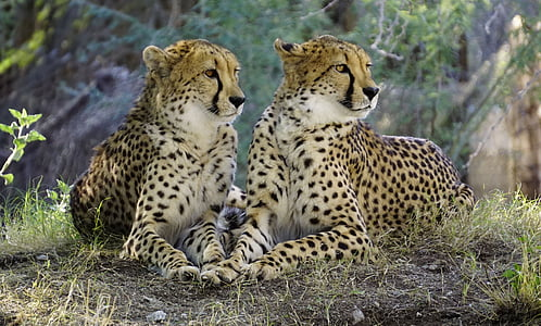 two cheetah photo during daytime