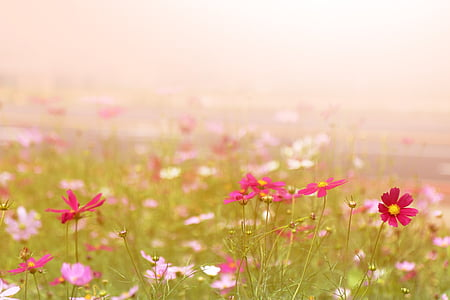 pink and red cosmos flower photography
