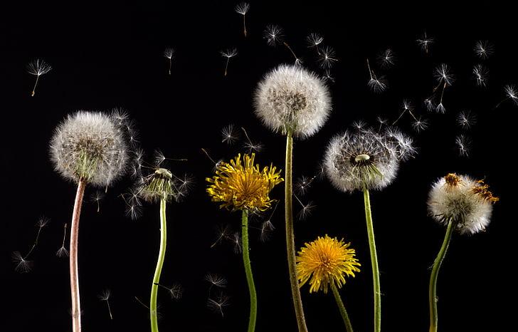 seven dandelions