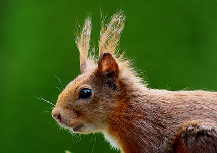 brown squirrel in closeup photography
