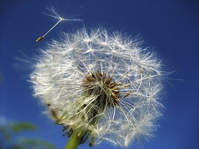 Dandelion floweer