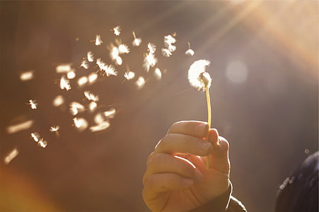 person holding a white dandelion flower