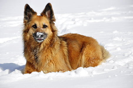 adult tan dog on snow