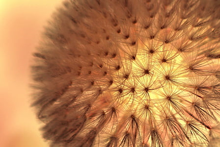 macro photography of white dandelion flower